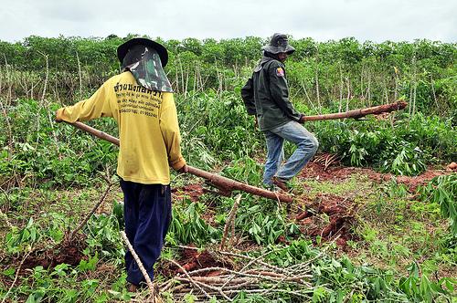 cassava harvesting near khorat 3np