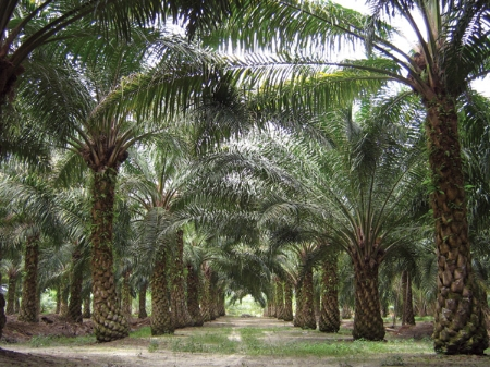 Malaysia Palm
