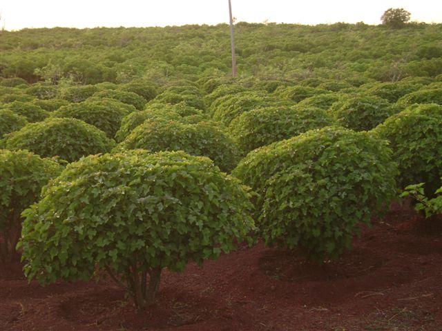 jatropha plantation