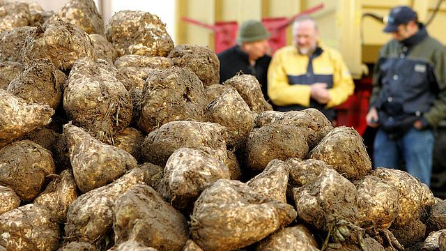 biofuels crops sugar beet