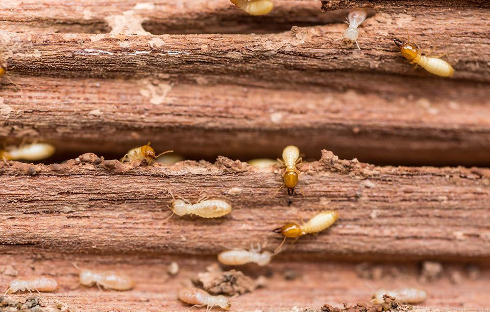 termite control system