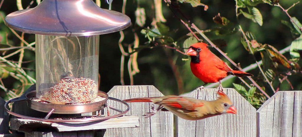 cardinal-bird-feeder