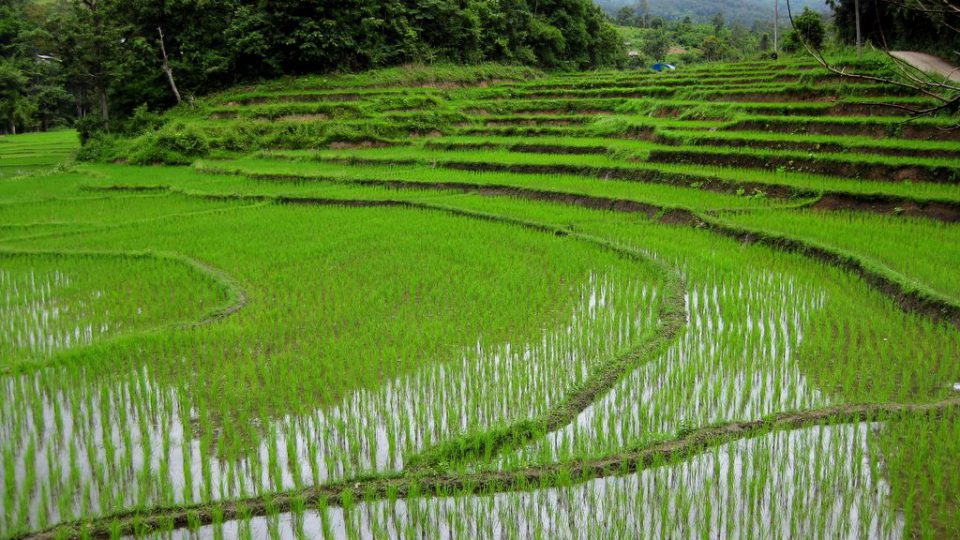 thailand rice industry